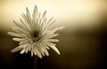 Sepia colored fuji spider mums white chrysanthemum photographed in against an out of focus background Royalty Free Stock Photo