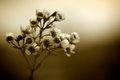 Sepia coloured tea tree blossom photographed in against an out of focus background Royalty Free Stock Images