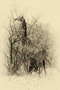 Sepia picture of giraffe eating leaves vintage grown top from large tree Stock Image
