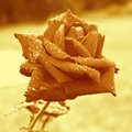 Sepia rose covered in droplets after rain to a photo color toning is applied Stock Photos