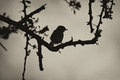 Sepia smill bird in thorn tree silhouette black and white Royalty Free Stock Photo