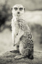 Sepia toned meerkat sitting up retro style suricata suricatt on a rock and looking at the camera Royalty Free Stock Photo