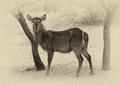 Sepia toned picture of alert waterbuck listening carefully to every sound Royalty Free Stock Images
