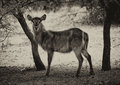Sepia toned picture of alert waterbuck listening carefully to every sound Stock Photography