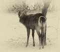 Sepia toned picture of an alert waterbuck looking backwards list listening carefully to every sound Royalty Free Stock Images