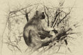 Sepia toned pictured of vervet monkey in a tree Stock Images