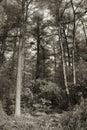 Sepia toned trees Royalty Free Stock Photo