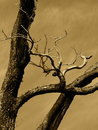 Sepia tree Royalty Free Stock Images