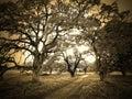 Sepia Trees Royalty Free Stock Photo