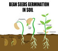 Sequence of bean seeds germination Royalty Free Stock Photo