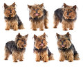 Sequence a nice dog yorkshire Royalty Free Stock Photo