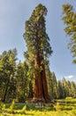 Sequioa national park giant sequoia trees in california Stock Image