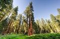 Sequioa national park giant sequoia trees in california Stock Photo