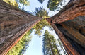 Sequioa national park giant sequoia trees in california Stock Photography