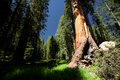 Sequoia giant in national park california Royalty Free Stock Photography