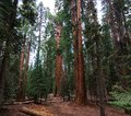 Sequoia national park trees from a distance Royalty Free Stock Photo