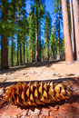 Sequoia pine cone macro in Yosemite Mariposa Grove Royalty Free Stock Photo