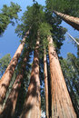 Sequoia sempervirens Stock Photography