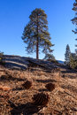Sequoia tree with pinecones in the foreground Royalty Free Stock Photo