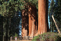 Sequoia trees Stock Photography
