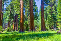 Sequoia trees in the sequois national park in california famous big are standing giant village area big famous mammut Royalty Free Stock Photos