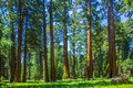 Sequoia trees in the Sequois National Park in California Royalty Free Stock Photo