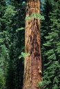 Sequoias in beautiful sequoia national park Stock Images