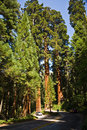 Sequoias in beautiful sequoia national park Royalty Free Stock Image