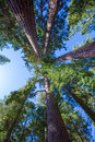 Sequoias in california view from below at mariposa grove of yosemite usa Royalty Free Stock Image