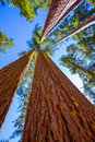 Sequoias in california view from below at mariposa grove of yosemite usa Stock Photo
