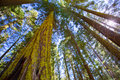 Sequoias in california view from below at mariposa grove of yosemite usa Royalty Free Stock Photo