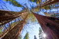 Sequoias in california view from below at mariposa grove of yosemite usa Stock Photos
