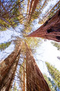 Sequoias in california view from below at mariposa grove of yosemite usa Royalty Free Stock Images