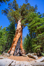 Sequoias in mariposa grove at yosemite national park california Royalty Free Stock Photos