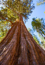 Sequoias in mariposa grove at yosemite national park california Royalty Free Stock Image