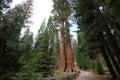 Sequoias at Mariposa Grove, Yosemite national park Royalty Free Stock Photo