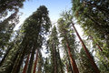 Sequoias at Mariposa Grove, Yosemite national park Royalty Free Stock Photo