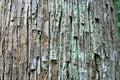 Seraya tree bark