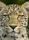 Serengeti för nationell reserv för leopard Royaltyfri Bild