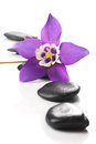 Serenity beautiful aquilegia flower mini star variety spa pebbles and blossom Stock Photo