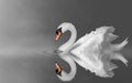 Serenity swan swimming in lake mist Royalty Free Stock Image