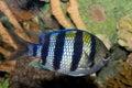 Sergeant Major Damsel Fish (Abudefduf saxatilis) Royalty Free Stock Photo