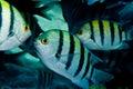 Sergeant major fish Royalty Free Stock Photo