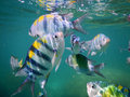 Sergeant major fish near surface Royalty Free Stock Photo