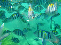 Sergeant major school of tropical fish in clear water Stock Photos