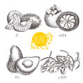Series -  fruit, vegetables and spices. Hand-drawn illustration in vintage style. Royalty Free Stock Photo