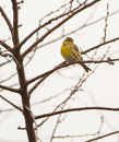 Serin on leafless tree a male serinus serinus perches a in autumn already having shed all it s leaves Royalty Free Stock Photo