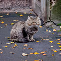 Serious cat adult sits on asphalt surrounded with autumn foliage Royalty Free Stock Images