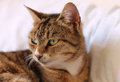 Serious cat with beautiful eyes Royalty Free Stock Photos