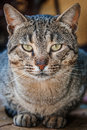Serious cat beautiful but very male striped Royalty Free Stock Image